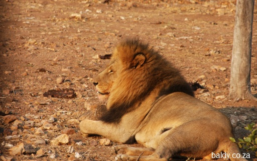 I'm still proud of my lion shot, taken a week after I got the Canon 40D