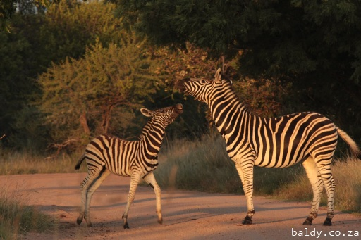 Zebras playing early morning