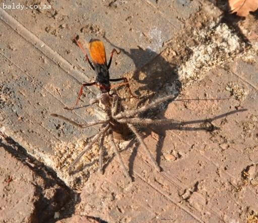 Was catching a rain-spider